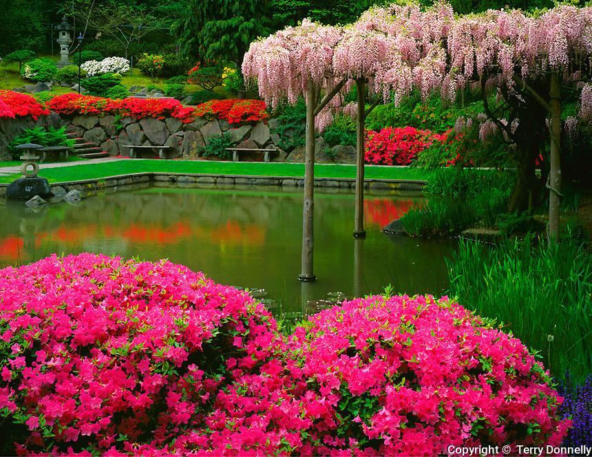 Seattle, WA        <br /> Wisteria trellis &amp; flowering azaleas around the Japanese Garden lake - spring<br /> Washington Park Arboretum