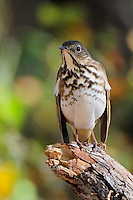 Hermit Thrush, Burnet, Texas