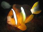 Kenting, Taiwan -- Clark's anemonefish (clownfish)