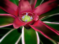 Close up of Bromeliad. (Bromeliad neoregelia)