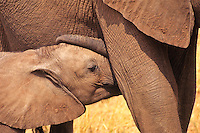 African elephant (Loxodonta africana) calf nursing.  Matusadona National Park, Zimbabwe.
