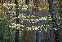 Devil's Den State Park, Arkansas:<br /> Morning sun on flowering dogwood (Cornus florida) in the early spring hardwood forest of the Ozark's Lee Creek Valley