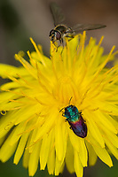 Weidenprachtkäfer, Weiden-Prachtkäfer, Bunter Eichen-Prachtkäfer, Bunter Eichenprachtkäfer, Eichen-Prachtkäfer, Eichenprachtkäfer, Anthaxia salicis, pasture splendour beetle