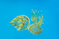 435550014 spotted jellyfish mastigias papua float and swim in their enclosure at the long beach aquarium in long beach california - species is native to the southwestern indo-pacific ocean especially the ocean around palau