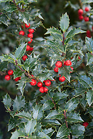 lex x 'Rutzan' aka 'Red Beauty' Holly in berries