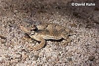 0610-1004  Desert Horned Lizard or Horny Toad (Mojave Desert), Phrynosoma platyrhinos  © David Kuhn/Dwight Kuhn Photography