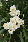 SIR WINSTON CHURCHILL DAFFODILS, NARCISSUS HYBRID, FRAGRANT BILOLORED FLOWERS