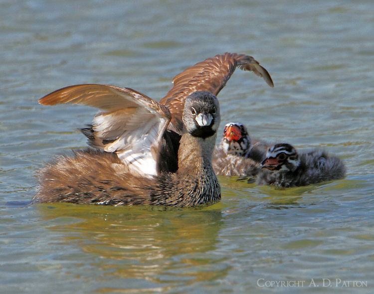 Pied-billed grebe and chicks