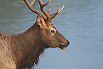 Bull elk with river in background
