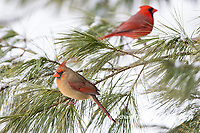 01530-23013 Northern Cardinal (Cardinalis cardinalis) female and male in pine tree in winter snow Marion Co. IL