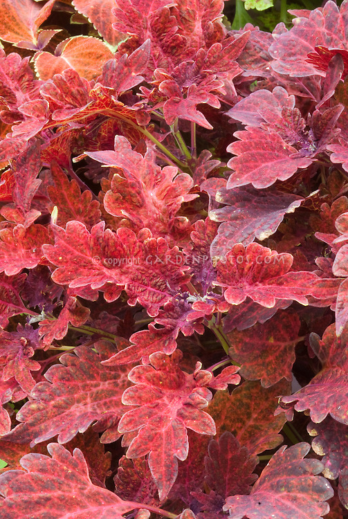 Coleus Juliet Quartermain (Solenostemon) annual foliage plant in leaf colors of reddish pinks. RHS Award of Garden Merit AGM