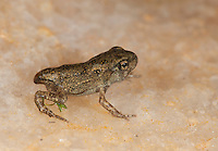American Toad; Anaxyrus americanus; toadlet metamorphosing; PA, Philadelphia, Schuylkill Center