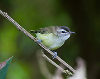Sooty-headed tyrannulet
