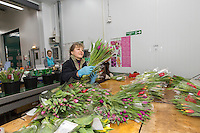 Bunching and packing tulips in a flower packhouse - Lincolnshire, February