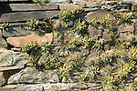 Asplenium Spleenwort plants growing on dry stone wall