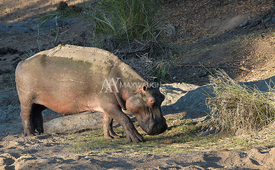 It was a tough time for hippos in Kruger.  Many had died due to the severe drought that had struck the region.