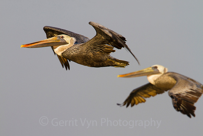 Adult Brown Pelicans (Pelecanus occidentalis) in flight. Terrebonne Parish, Louisiana. October.