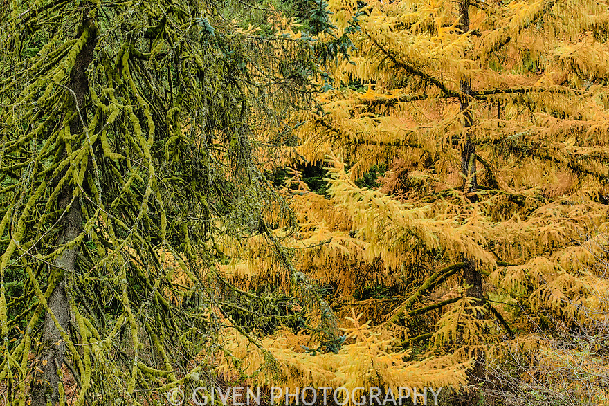 Cypress Tree with Spruce, Portland, Oregon