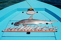 bonnethead shark, Sphyrna tiburo caught in gill net, with 15 pups ( embryos ) Florida Keys, USA, Florida Bay, Gulf of Mexico, Atlantic Ocean