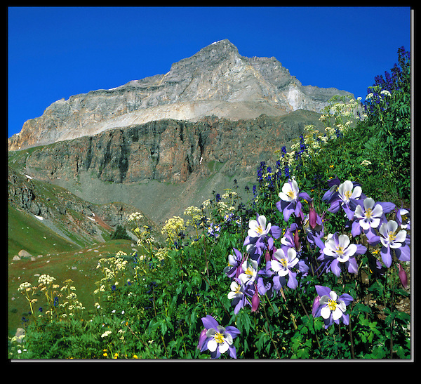 Columbine wildflowers in Yankee Boy Basin, Ouray, Colorado, USA.