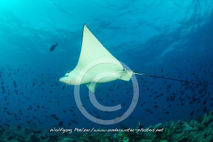 Aetobatus narinari, Gepunkteter Adlerrochen, White Spotted Eagle Ray, Malediven, Indischer Ozean, Baa Atoll, Maldives, Indian Ocean