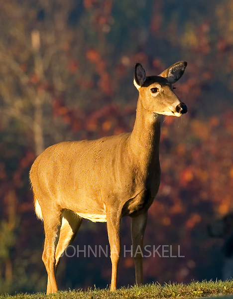 Female whitetail deer in Eustis during Maine fall colors.