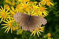 Brauner Waldvogel, Schornsteinfeger, stark abgeflogenes Tier, Blütenbesuch auf Jakobs-Greiskraut, Nektarsuche, Aphantopus hyperantus, ringlet