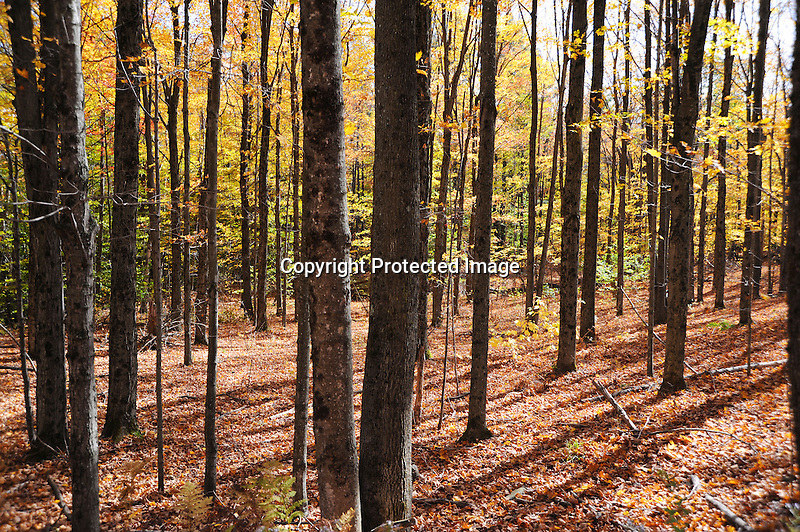 Open Woods with Colorful Foliage during Fall Season in Rural Alstead, New Hampshire USA