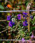 Purple Larkspur. Image taken with a Fuji X-T3 camera and 200 mm f/2 OIS lens