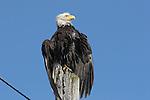 bald eagle on pole