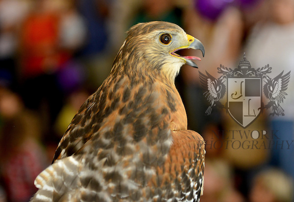 CORAL GABLES, FL - JANUARY 09: Birds of Prey show in conjunction with Frost Science during The Family Day Block Party first annual block party with activity in Coral Gables art Cinema and Coral Gables Museum presented by Books and Books at Aragon Avenue in Coral Gables on Saturday January 9, 2016 in Coral Gables, Florida.  ( Photo by Johnny Louis / jlnphotography.com )