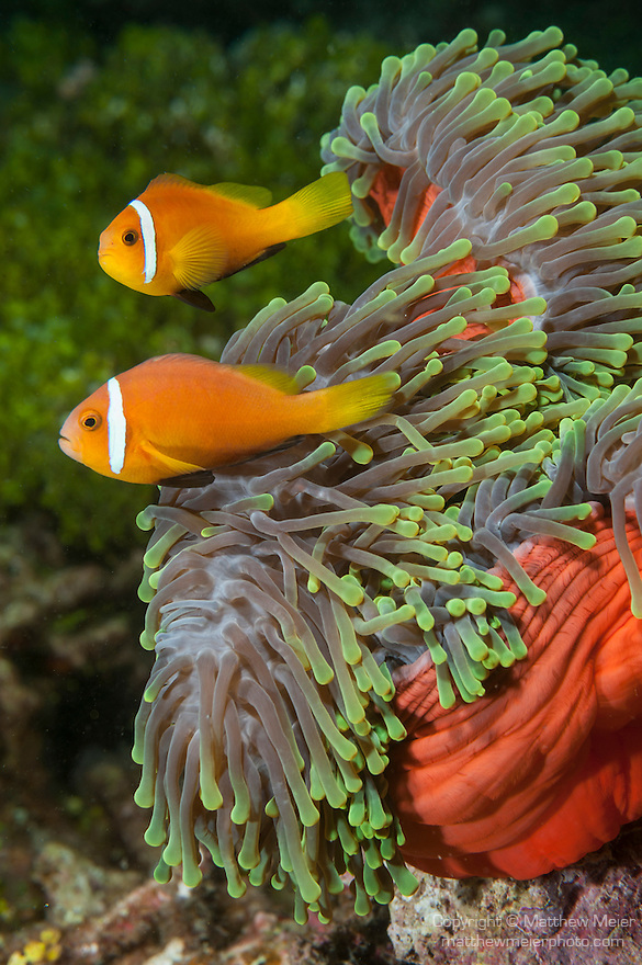 Nemo Thila, Maarehaa Island, Huvadhoo Atoll, Maldives; two Blackfinned Anemonefish (Amphiprion nigripes) in a red and green Magnificent Sea Anemone