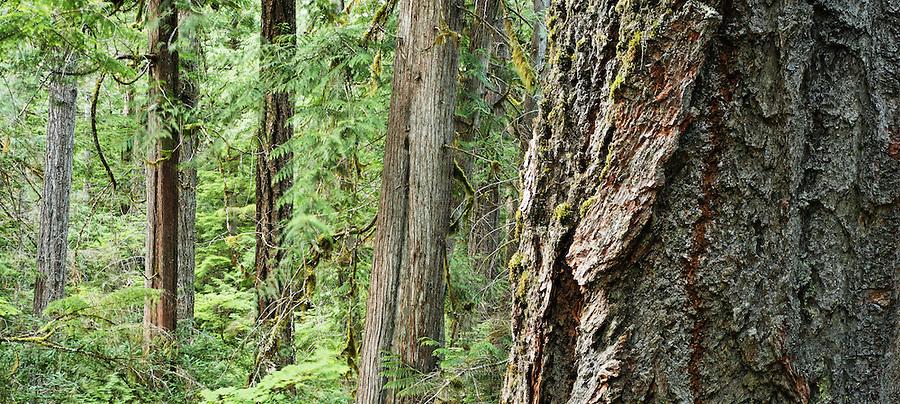 Douglas fir and western red cedar trees, Newhalem, Ross Lake National Recreation Area, North Cascade Mountains, Whatcom County, Washington, USA