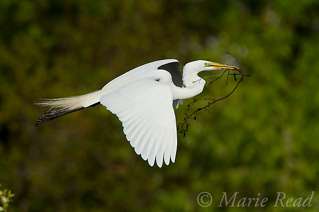 Great Egret (Ardea alba) carrying nest material in flight, Brandon, Florida, USA