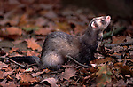 Polecat (Mustela putorius) - captive standing on forest floor.United Kingdom....