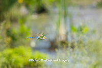 06361-00714 Common Green Darner (Anax junius) male dragonfly in flight over wetland, DuPage Co.  IL