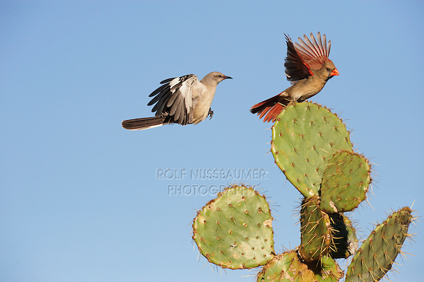 Northern Mockingbird (Mimus polyglottos), adult and Northern Cardinal (Cardinalis cardinalis) landing on Texas Prickly Pear Cactus (Opuntia lindheimeri), Dinero, Lake Corpus Christi, South Texas, USA