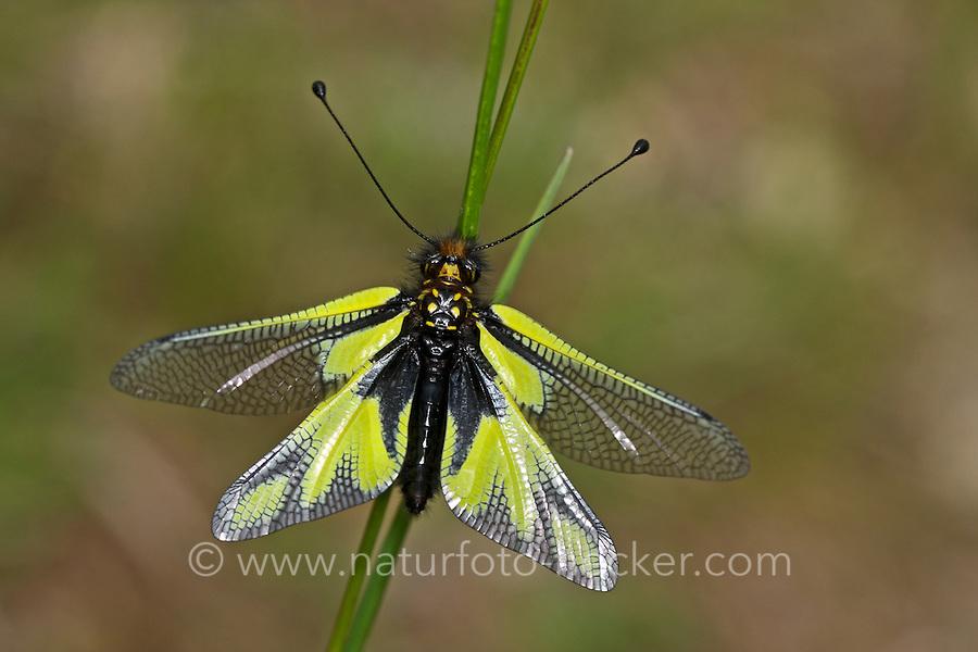Libellen-Schmetterlingshaft, Schmetterlingshaft, Libelloides coccajus, Ascalaphus coccajus, Ascalaphus libelluloides, owly sulphur, owlfly, l'Ascalaphe soufré, Schmetterlingshafte, Ascalaphidae, owlflies