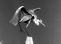 A Great Blue Heron on a decapitated palm tree, Black Pointe Wildlife Refuge, Merritt Island, FL.  Black and White Infrared.  (Photo by Brian Cleary/www.bcpix.com)