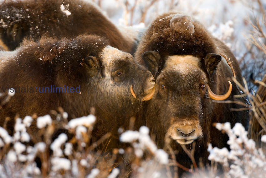 Muskox cow and calf forage for food on the arctic tundra in winter (Ovibos muschatus), ANWR, Alaska, USA