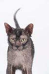 Lykoi Cat, Male, Black Roan Coat, 18 months old