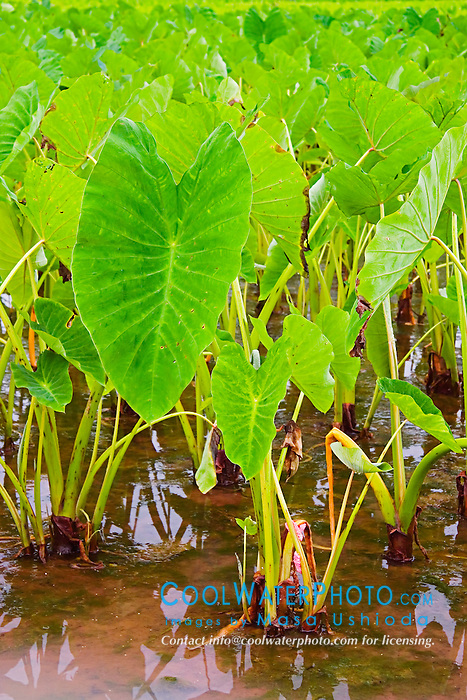 Taro or Kalo plant, Colocasia esculenta, (corms are harvested and mashed to make Hawaiian Poi), Hanalei National Wildlife Refuge, Kauai, Hawaii