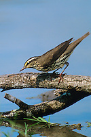 592800012 a wild louisiana waterthrush seirus motacilla perches on a dead mesquite branch over a small pond on a private ranch in the rio grande valley of south texas