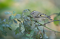Golden-crowned Kinglet (Regulus satrapa satrapa), a fall migrant to New York City's Central Park foraging.