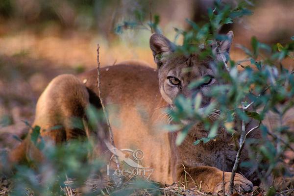 MR323  Florida Panther hidden behind smalll bush.