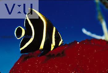 A juvenile Gray Angelfish. (Pomacanthus arcuatus) Caribbean