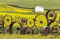 Wagon wheel fence and canola crop at Dahmen Barn near Uniontown,  Palouse region of eastern Washington.