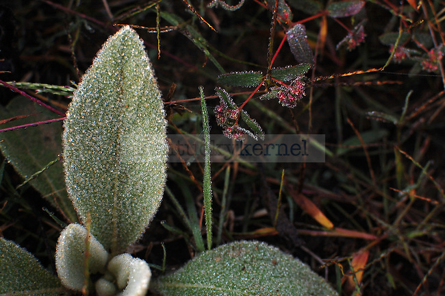 Water droplets on a Lamb's Ear plant shortly after sunrise in Jackson, Ky. on Saturday Oct 15, 2011. Photo by Brooke DiDonato