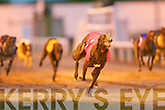 TOP DOG: No.1 Gringos Verling winner of the 2009 Lee Strand 550 Sweepstake first Semi-Final in a time of 29:86 2nd was No.6.Crackator Carl and 3rd was No.2 Acacia Prince at the Kingdom Greyhound Stadium on Friday..