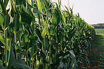 Corn basks in the mid-morning sun on David Brandt's 1,200-acre farm in central Ohio. Brandt grows corn, soy, wheat and hay on his farm that he runs with his wife, Kendra, in Carroll, Ohio. He has been practicing no-till farming since 1971, and has planted cover crops, such as winter peas, cabbage, clover and millet, which return nutrients to the soil, since 1978. His return to these traditional farming practices have allowed Brandt to drastically reduce his usage of fertilizers and pesticides, has increased the soil fertility and strengthened the land's tolerance to drought and excessive rain.